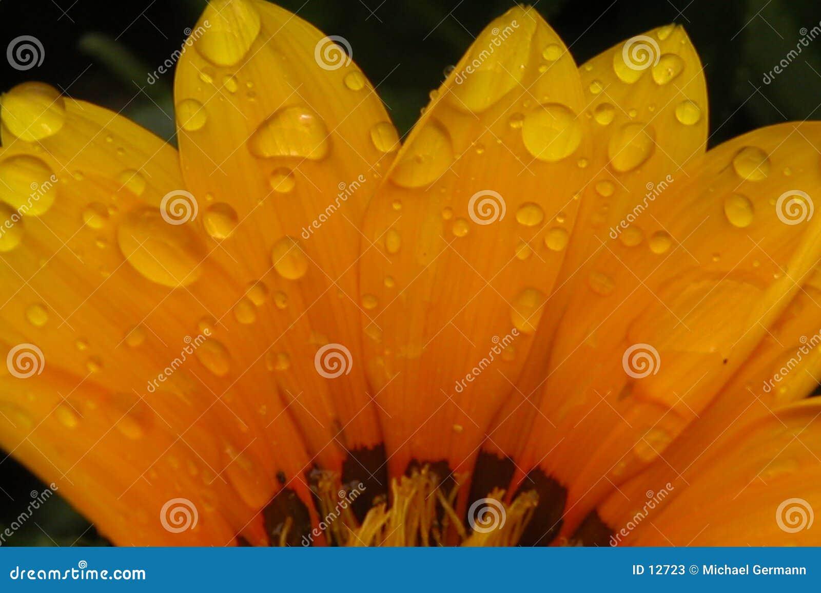 Pedales de la flor