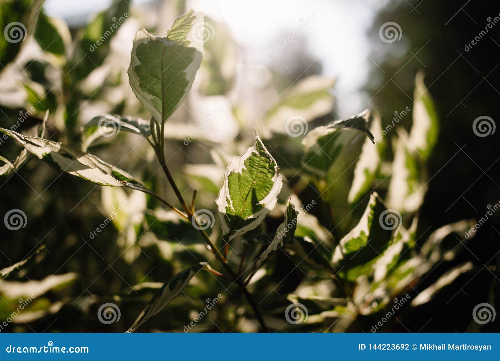 Pedilanthus com folhas verdes Profundidade de campo rasa Folhas na luz solar retroiluminada