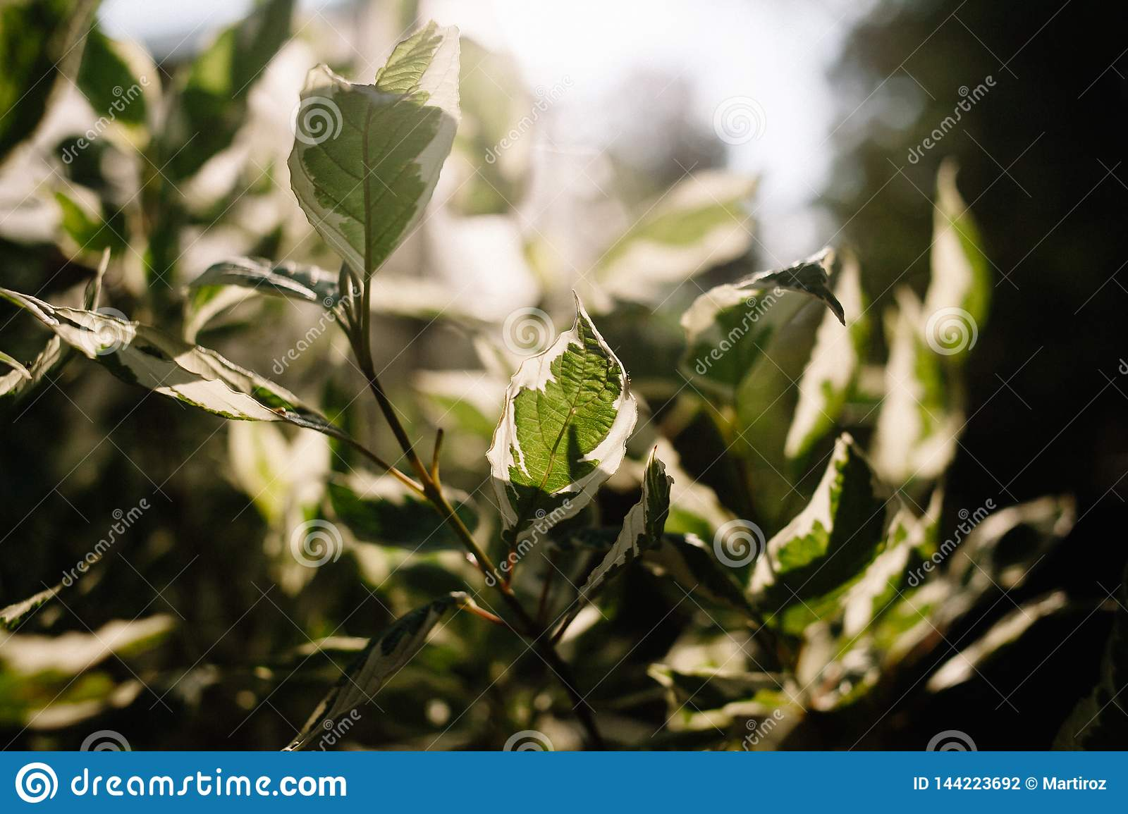 Pedilanthus with green leaves. Shallow depth of field. Leaves in backlit sunlight