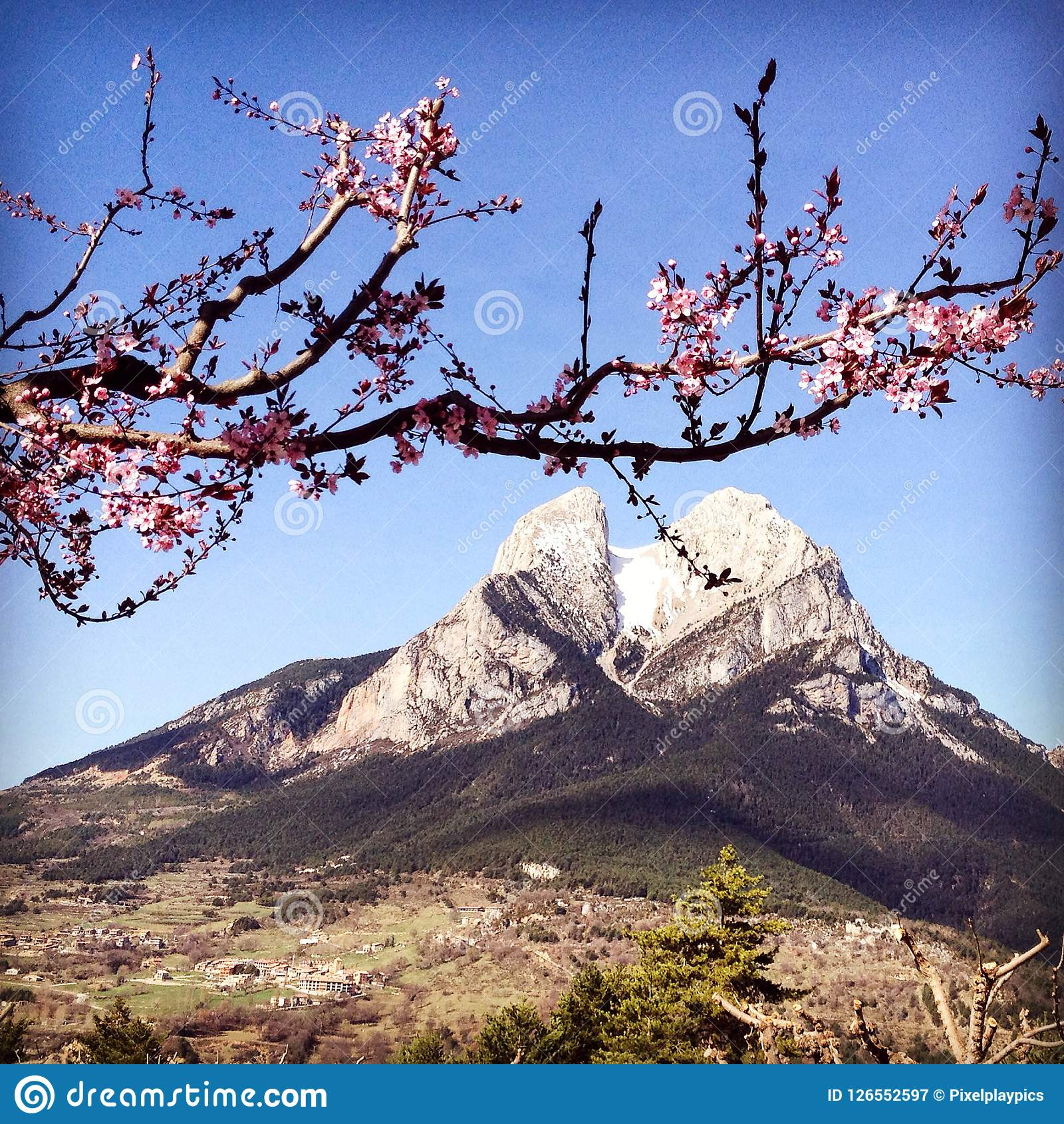 Pedraforca,与桃红色苹果树的西班牙美丽的山开花