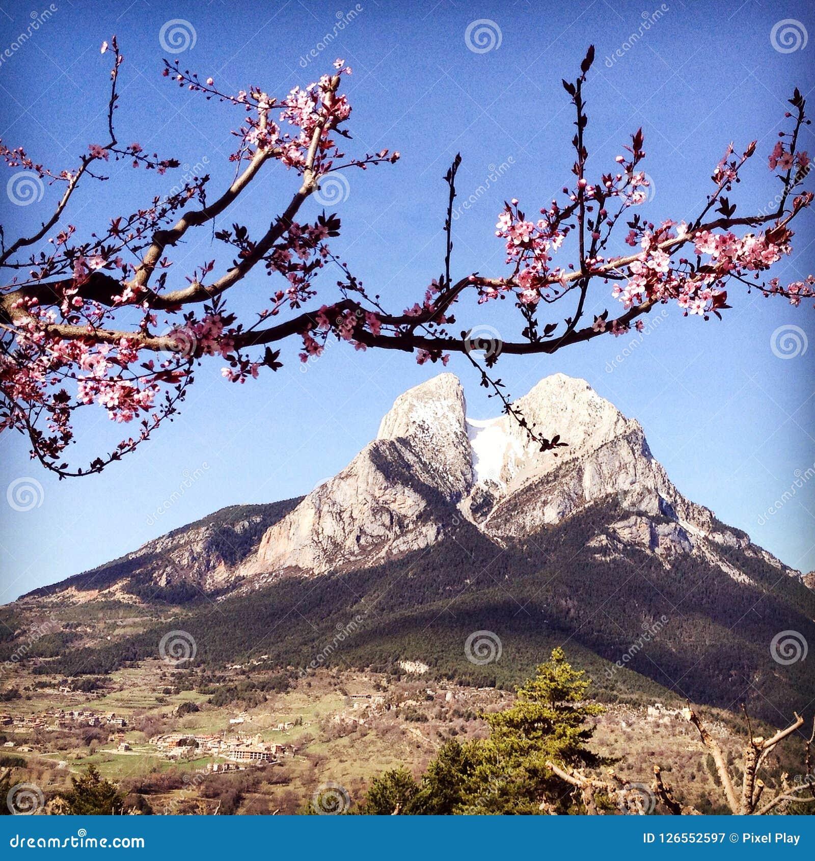 Pedraforca, Hiszpania Piękna góra z różową jabłonią kwitnie