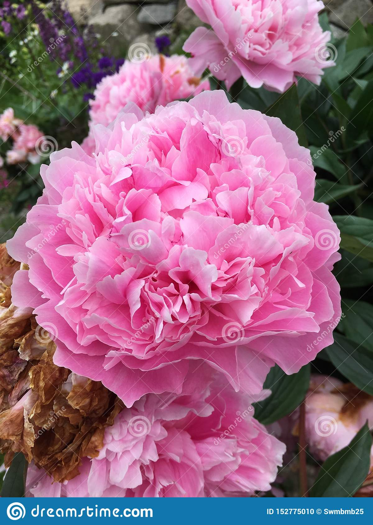 Peek-a-Boo cotton candy pink peonies