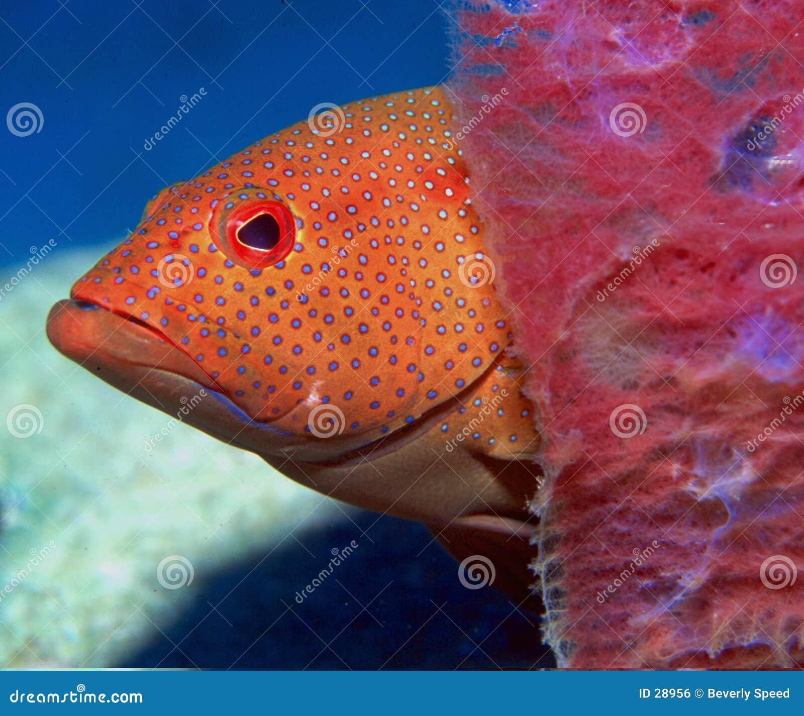 Peek n Boo stock photo. Image of seabasses, fish, photos - 28956