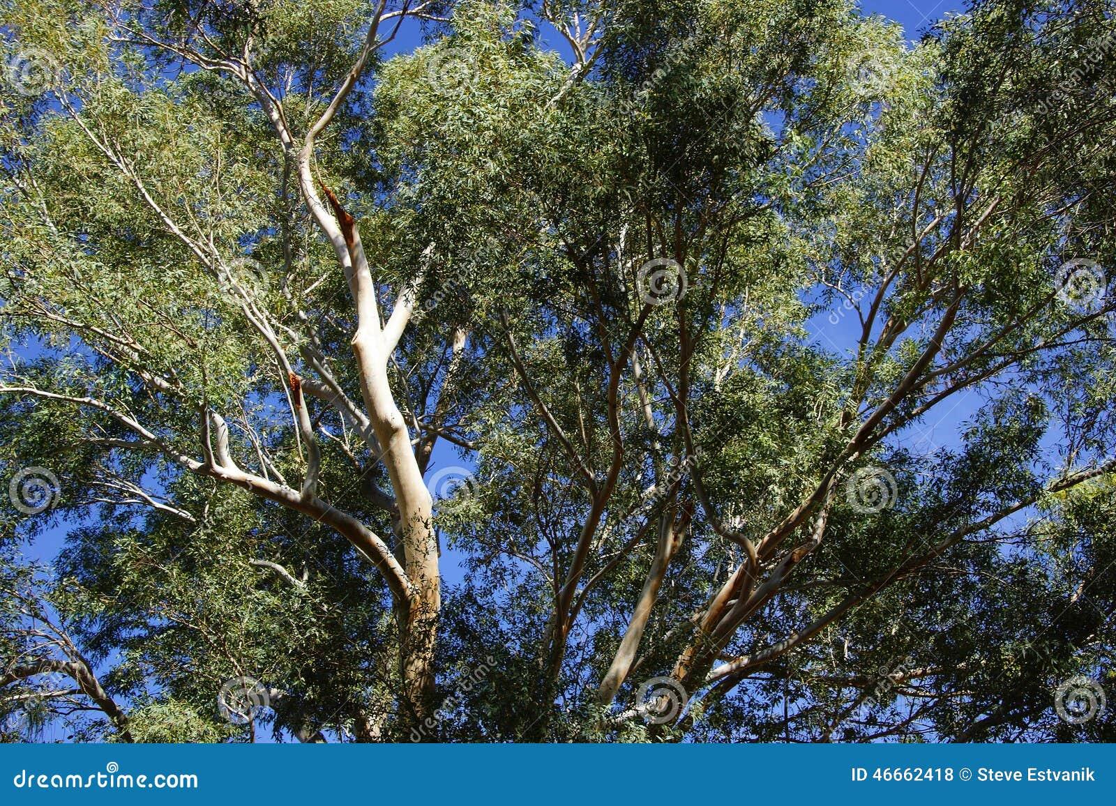 Peeling Bark On Eucalyptus Tree Stock Photo