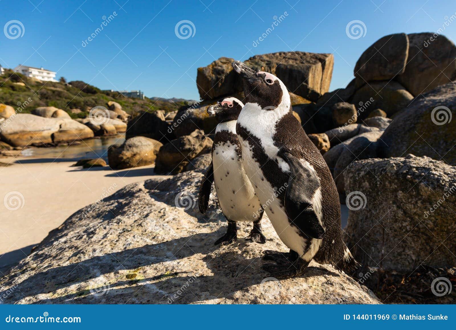 2 peguins на валунах приставают Simonstown к берегу