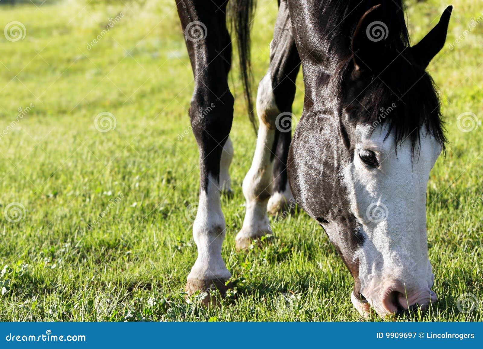 Peignez le pâturage de cheval