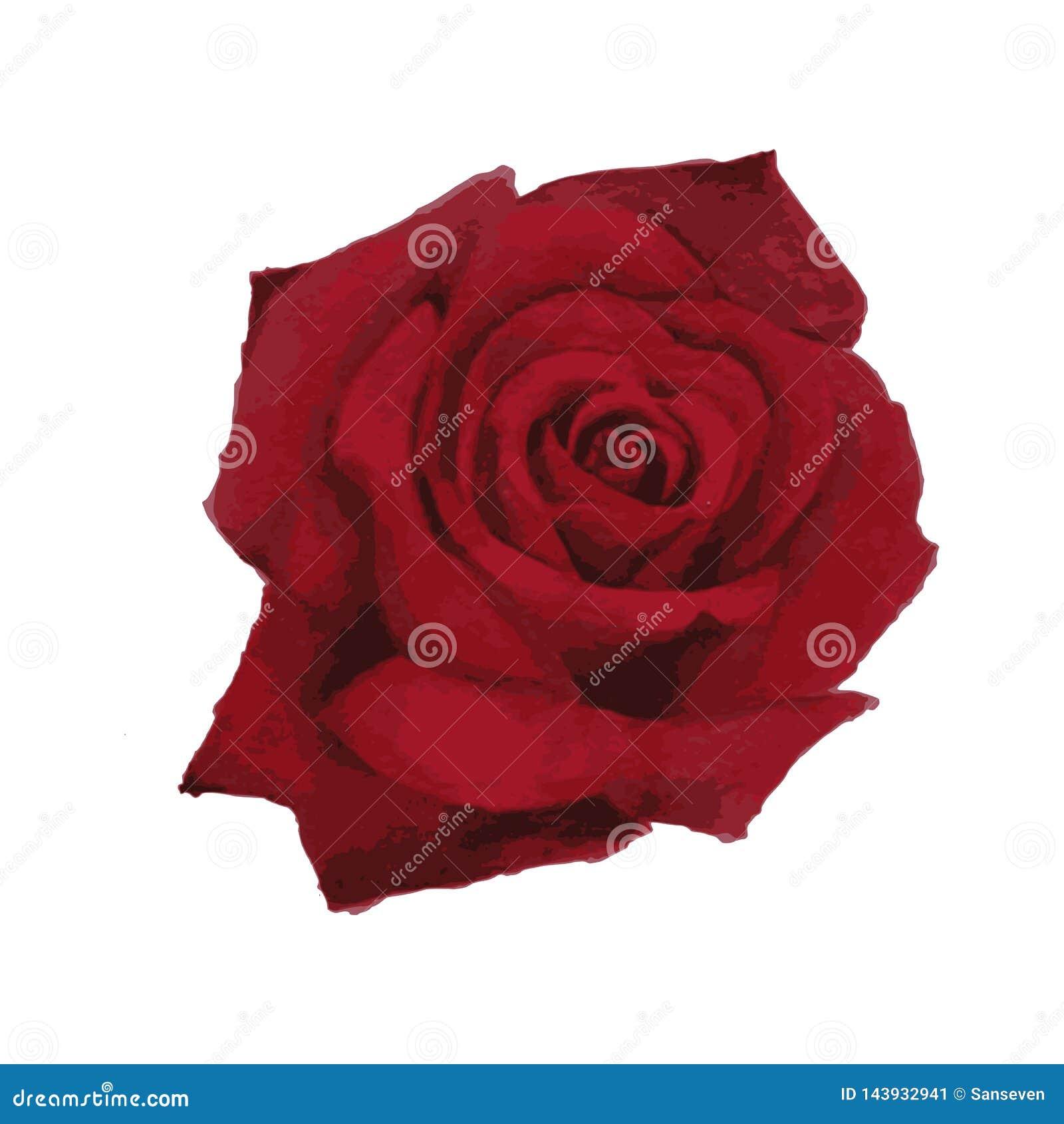 Peinture naturaliste d aquarelle d une rose rouge de floraison - illustration de vecteur