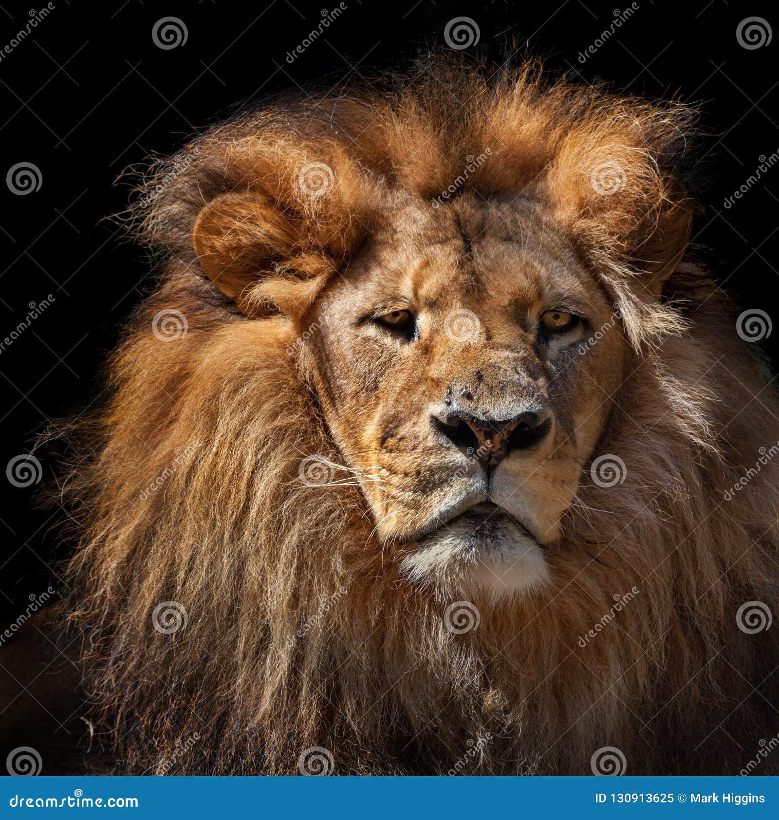Peinzende leeuw tegen zwarte achtergrond