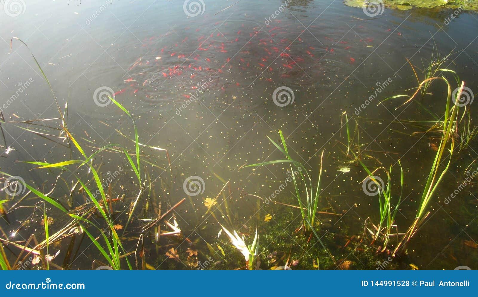 Peixe dourado em um dia ensolarado 4
