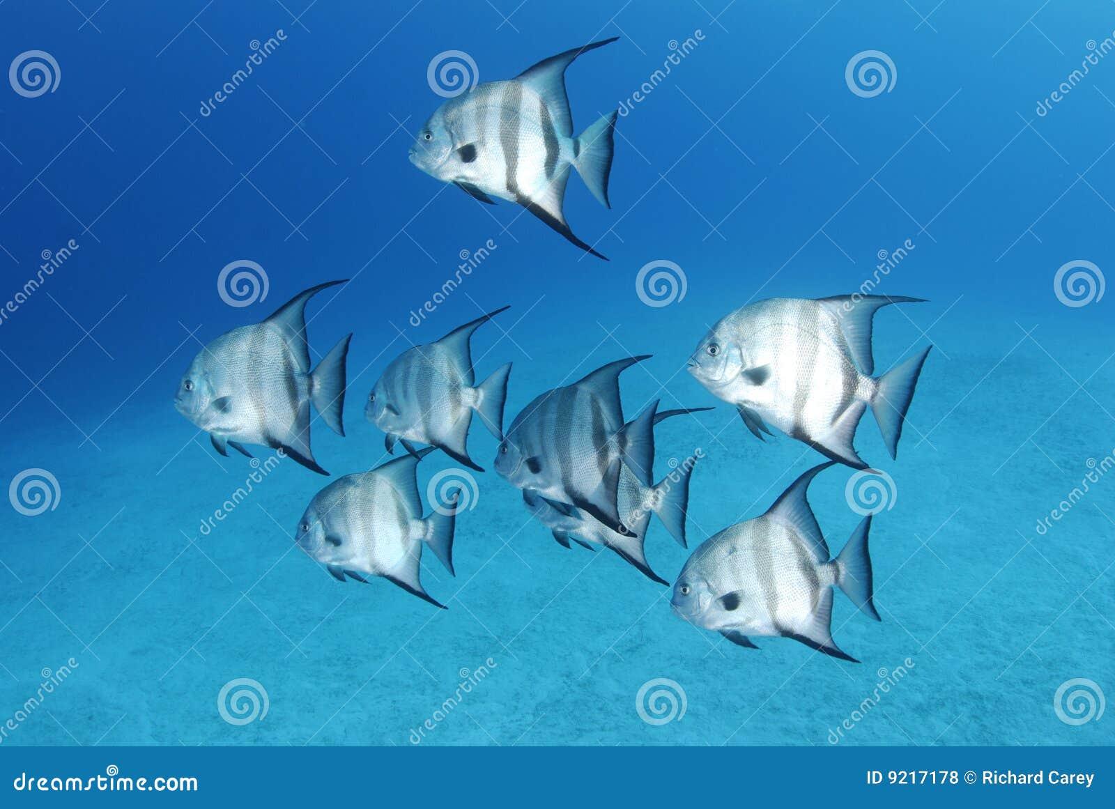 Peixe-espadas