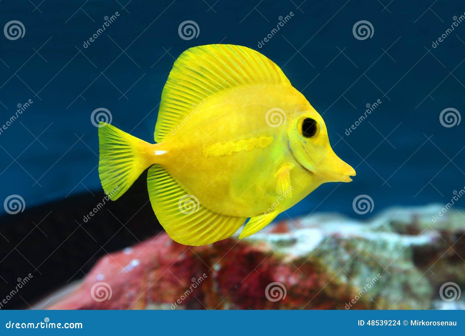 Muito Peixes Amarelos Do Aquário Da água Salgada Dos Flavescens De  BW65