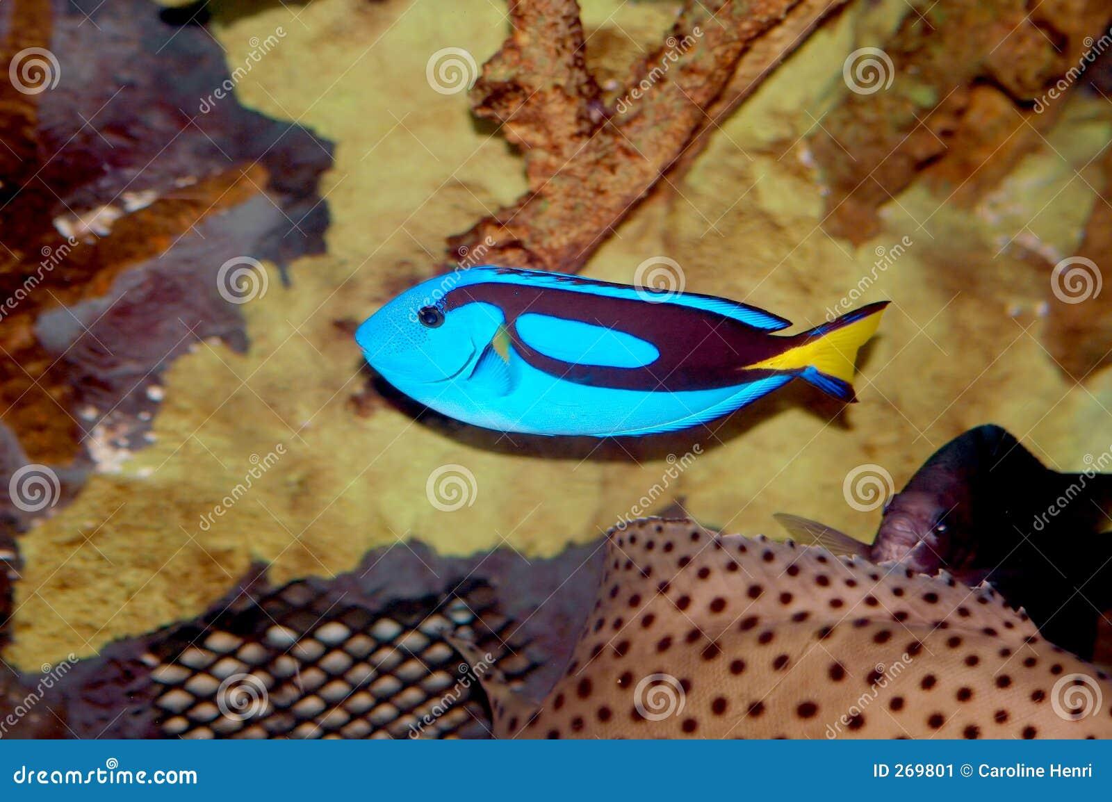 Peixes azuis do cirurgião