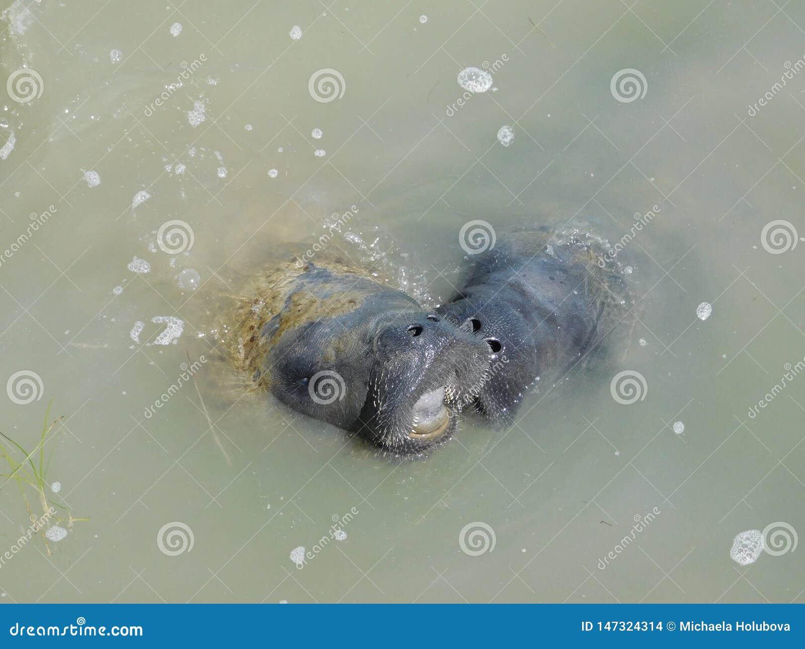 Peixes-boi, mãe e bebê no porto dos marismas