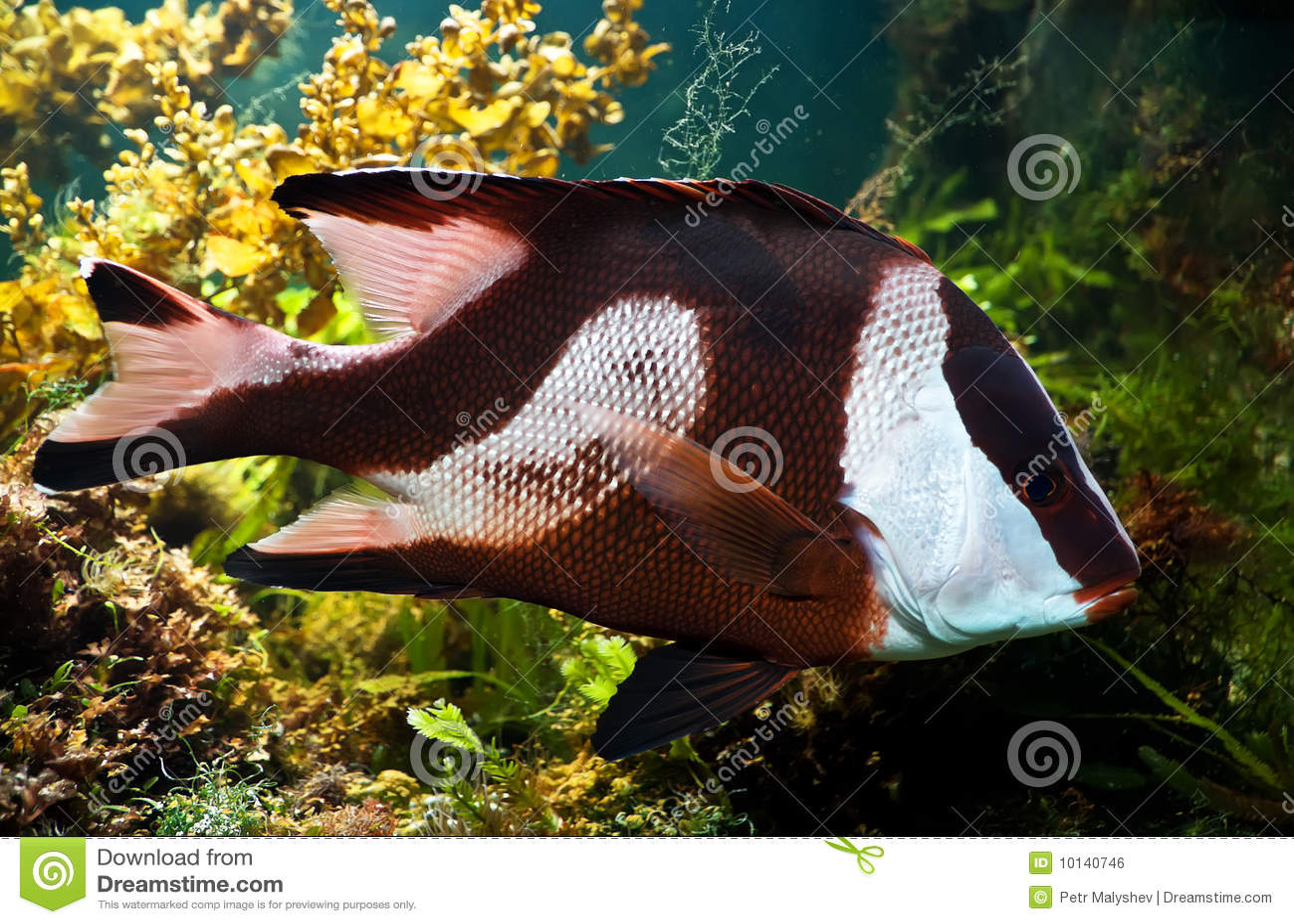 Peixes Branco-atados do damsel (aruanus do dascyllus)