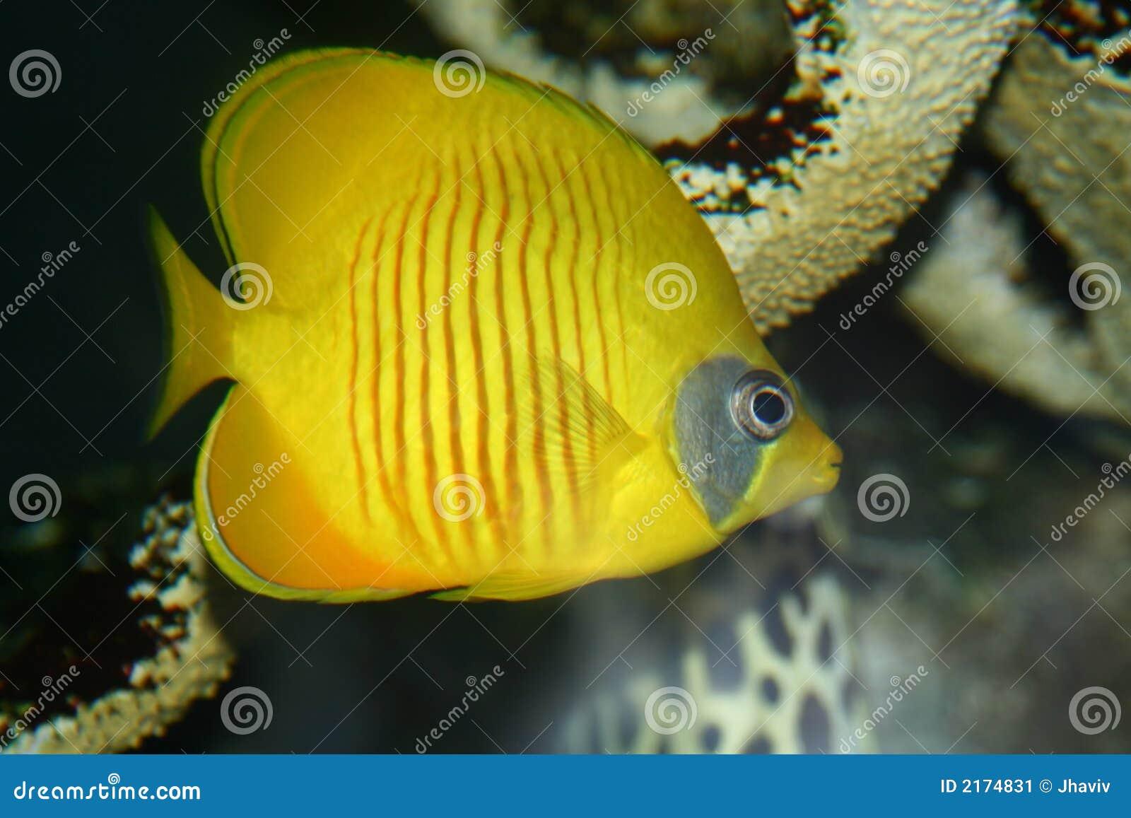 Peixes corais