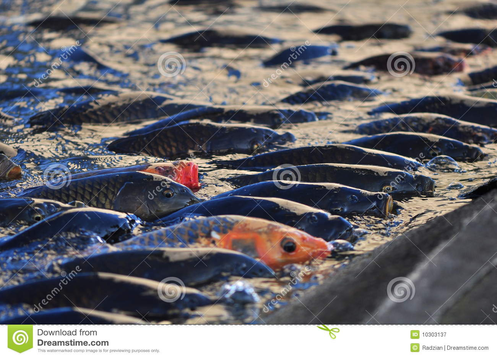 Peixes da carpa de koi imagem de stock imagem de goldfish for Alimento para carpas koi
