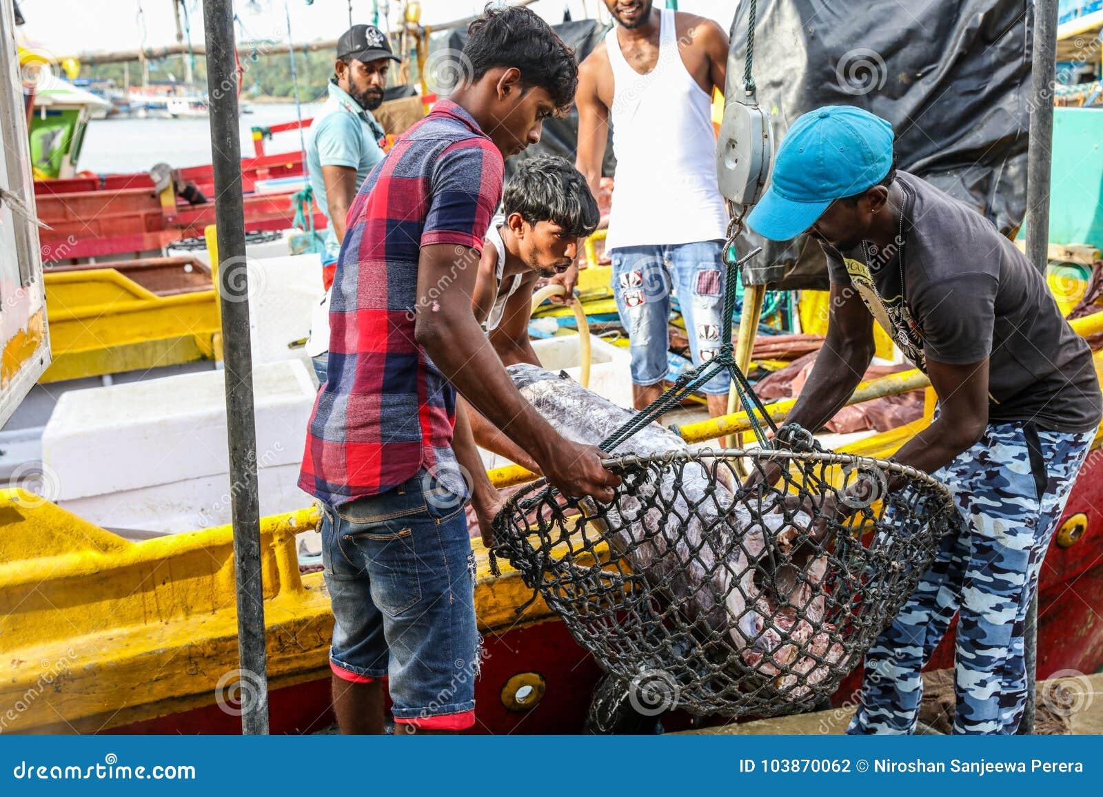 Peixes de atum que trazem para aterrar dos barcos no porto de Mirissa, Sri Lanka