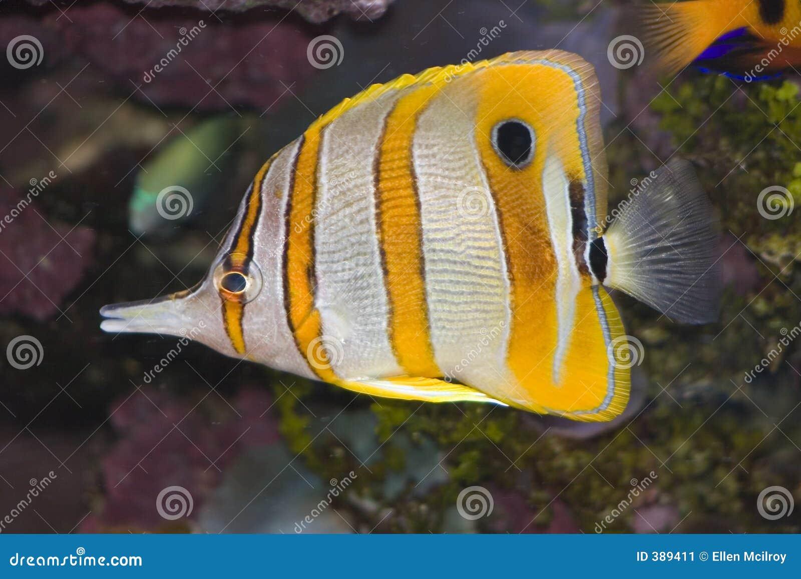 Peixes de borboleta de Copperband