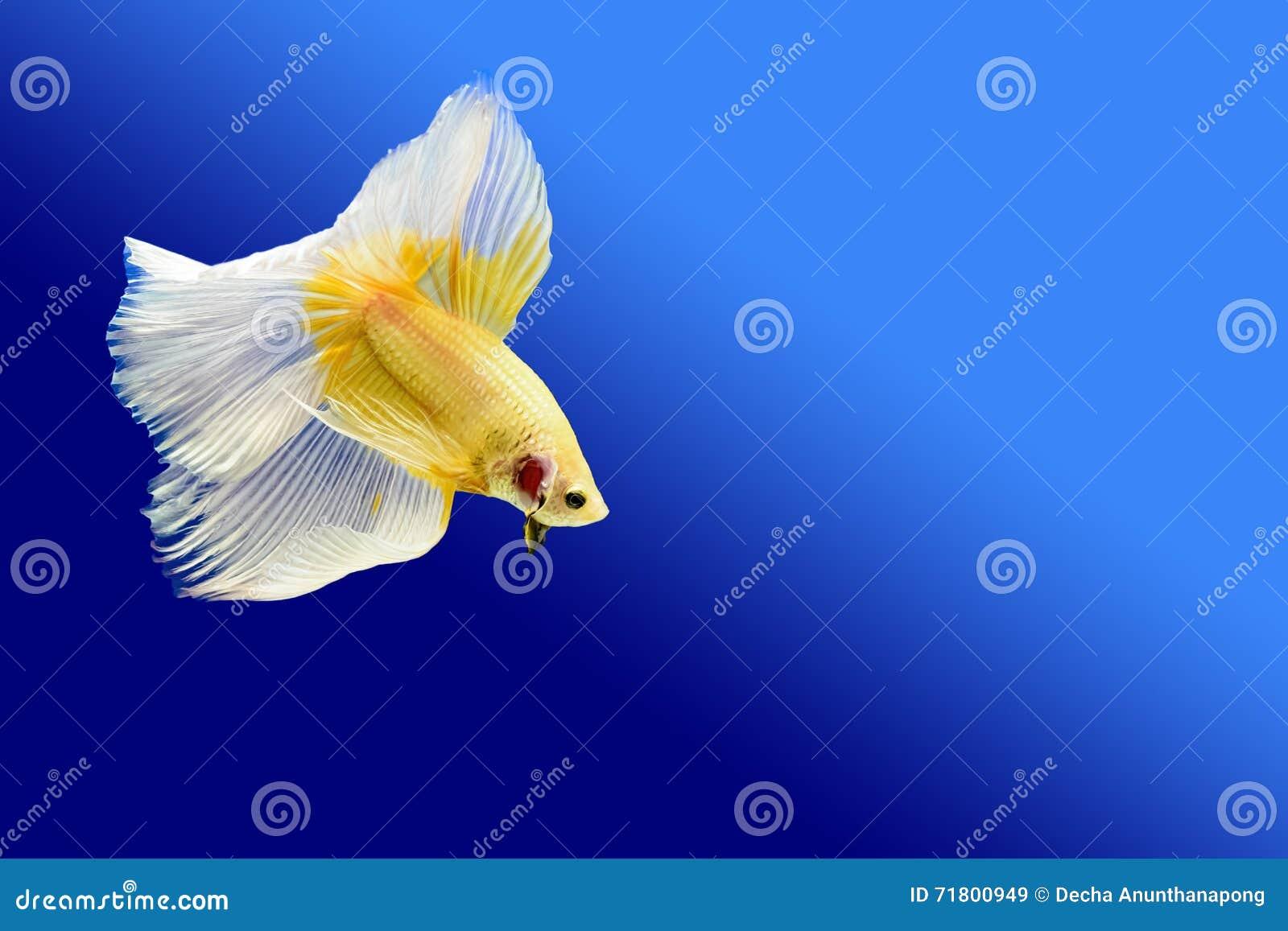 Peixes de combate
