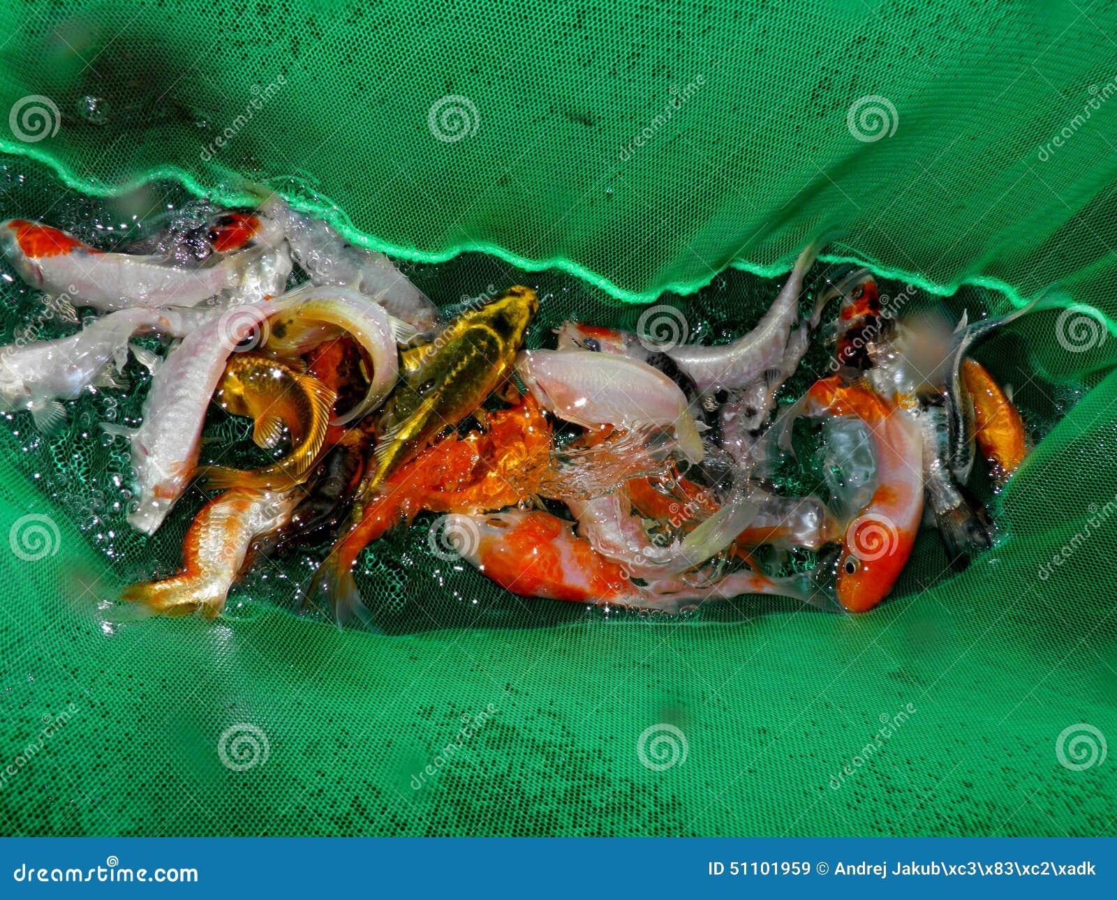 Peixes do aquário de Ásia Goldfish