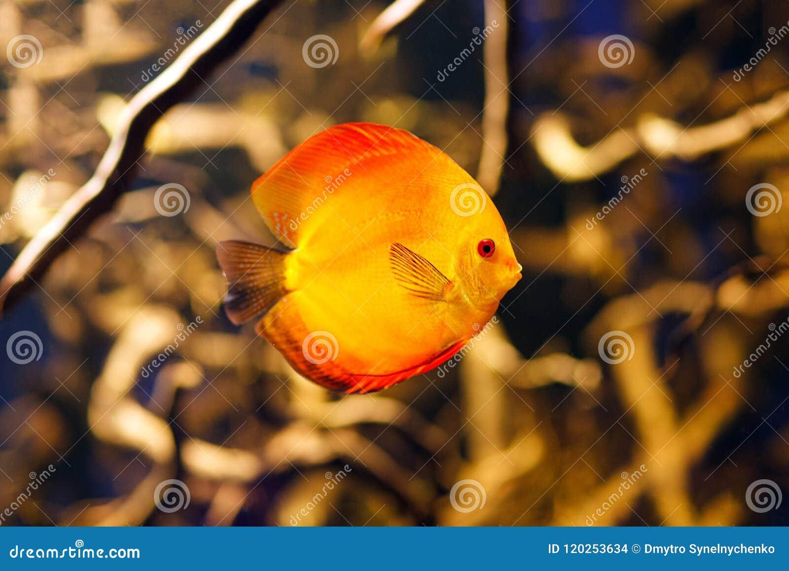 Peixes do aquário do disco de Symphysodon