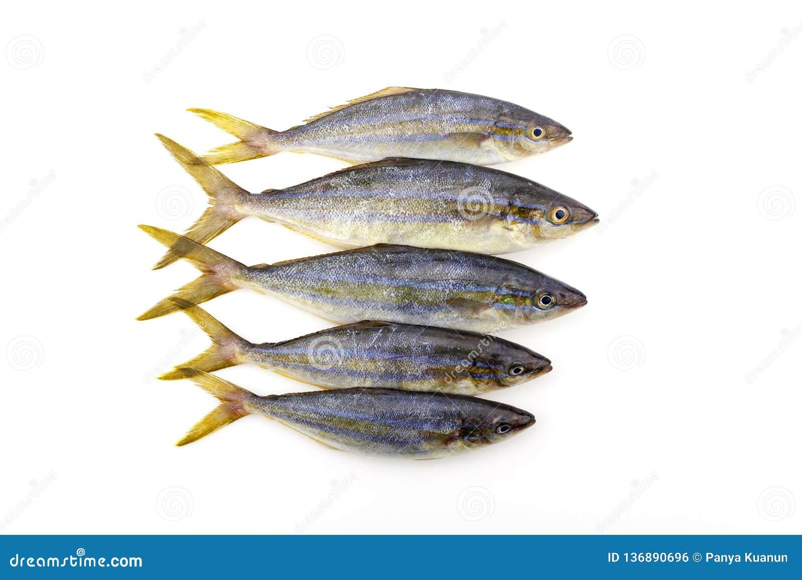 Peixes do corredor de arco-íris no fundo branco