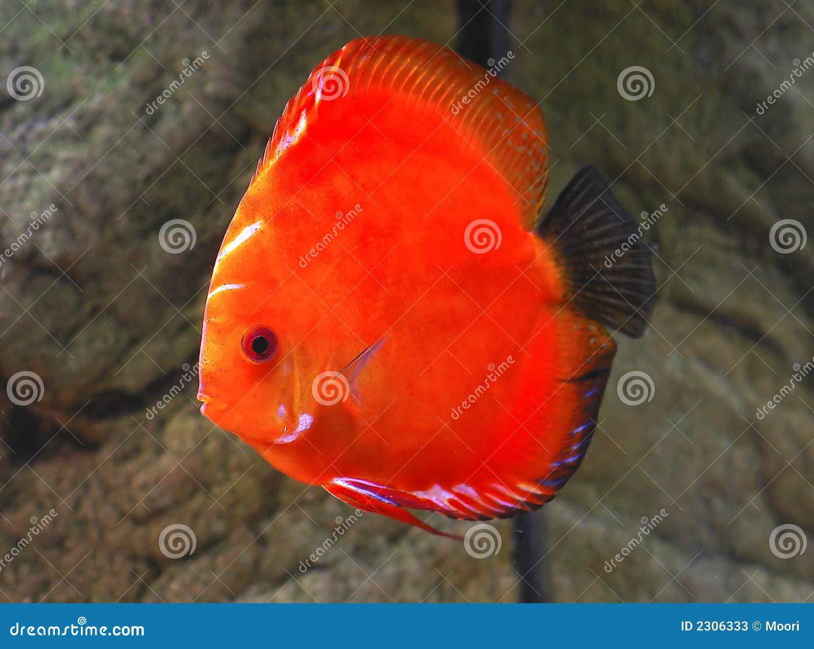 Peixes do disco de Symphysodon