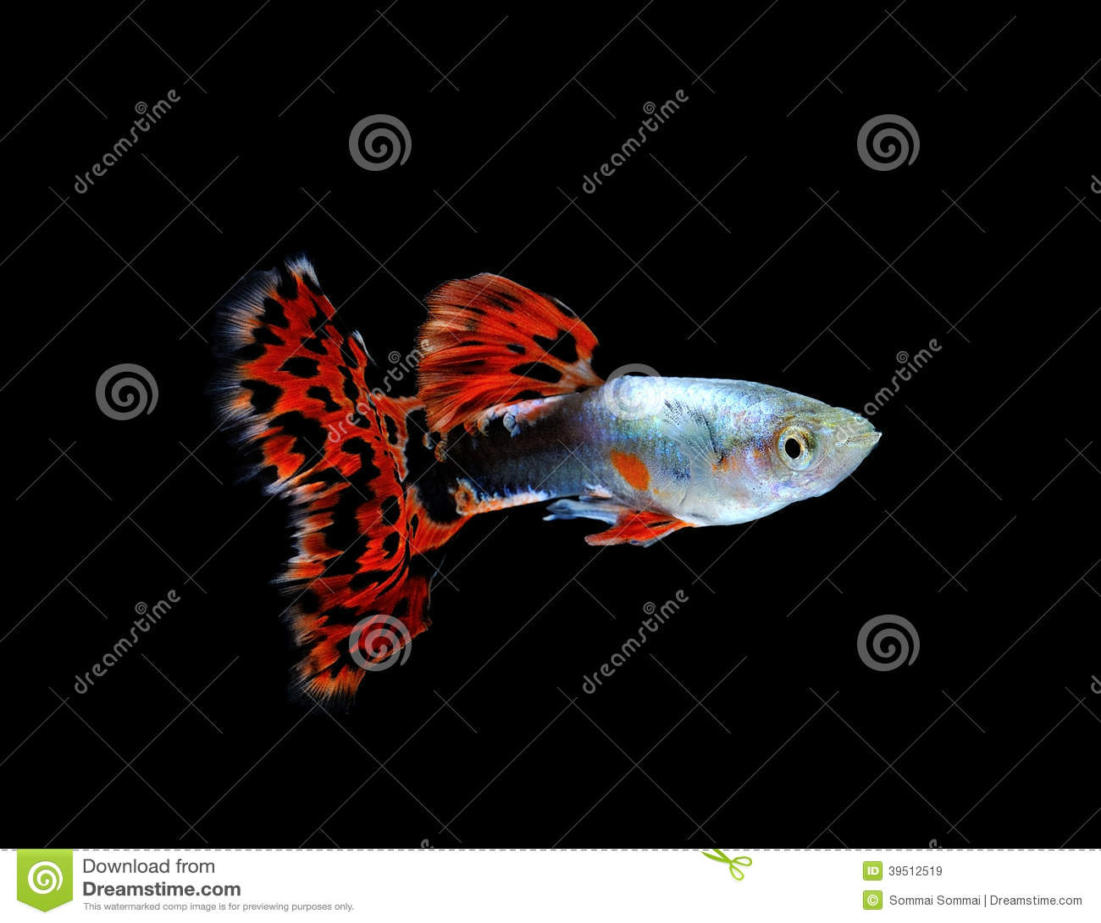Peixes do Guppy isolados no preto