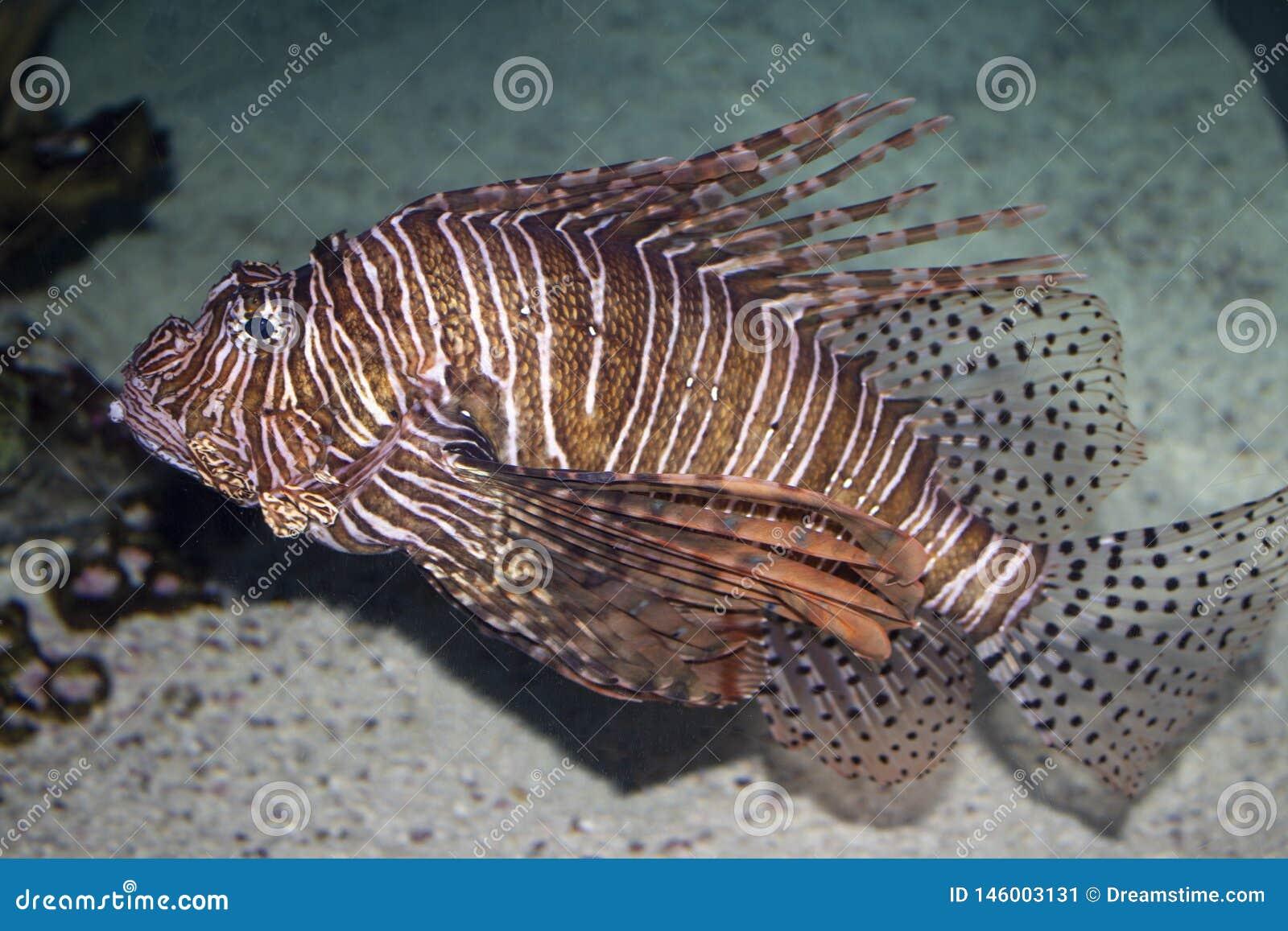 Peixes do leão do aquário