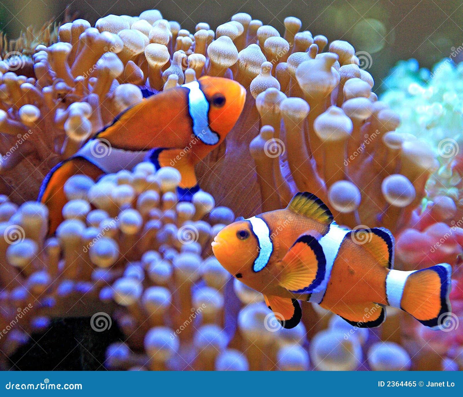 Peixes do palhaço