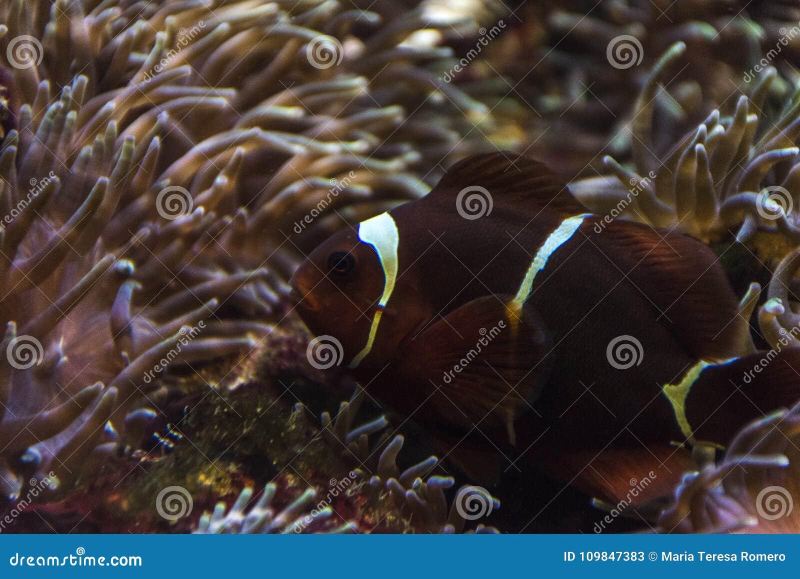 Peixes do palhaço entre anêmonas