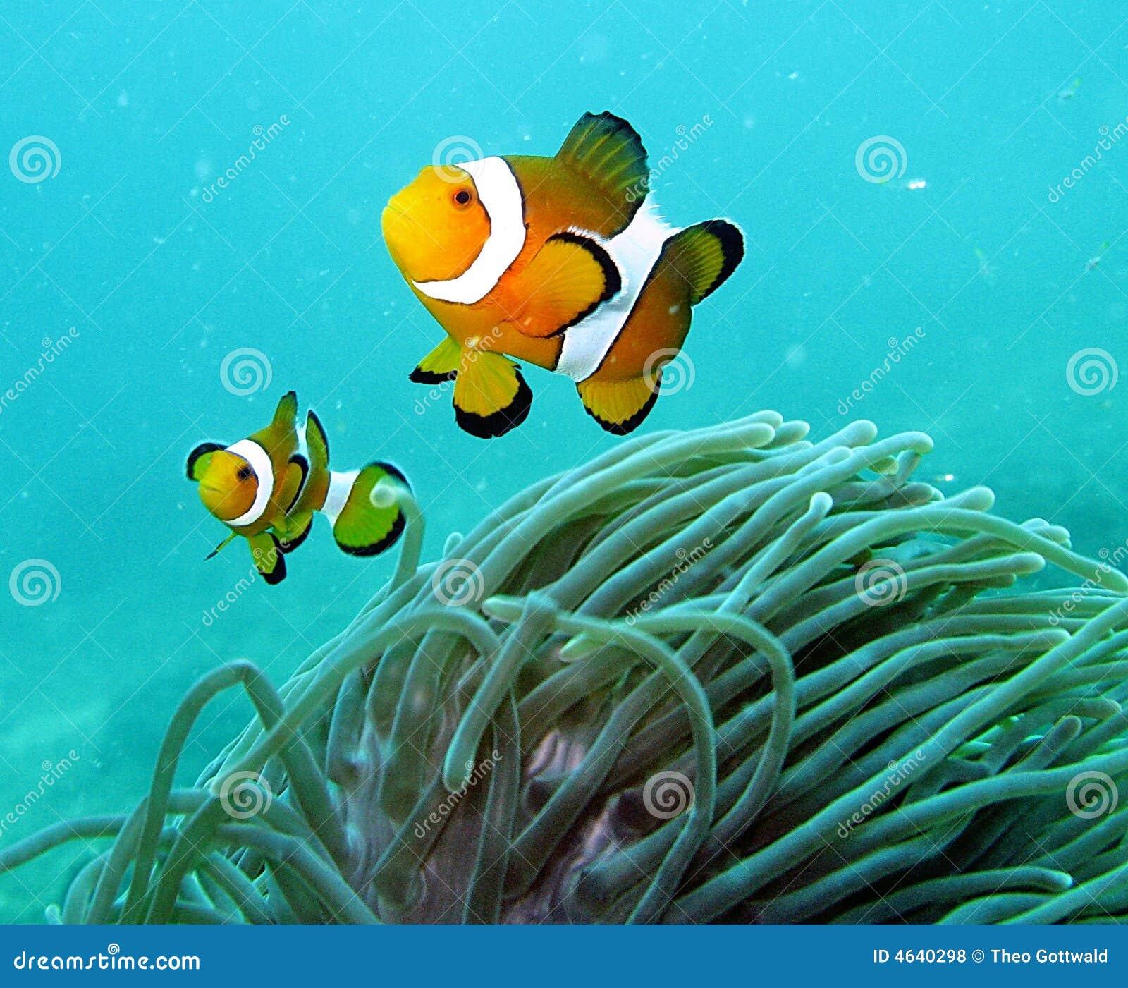 Peixes do palhaço no recife coral