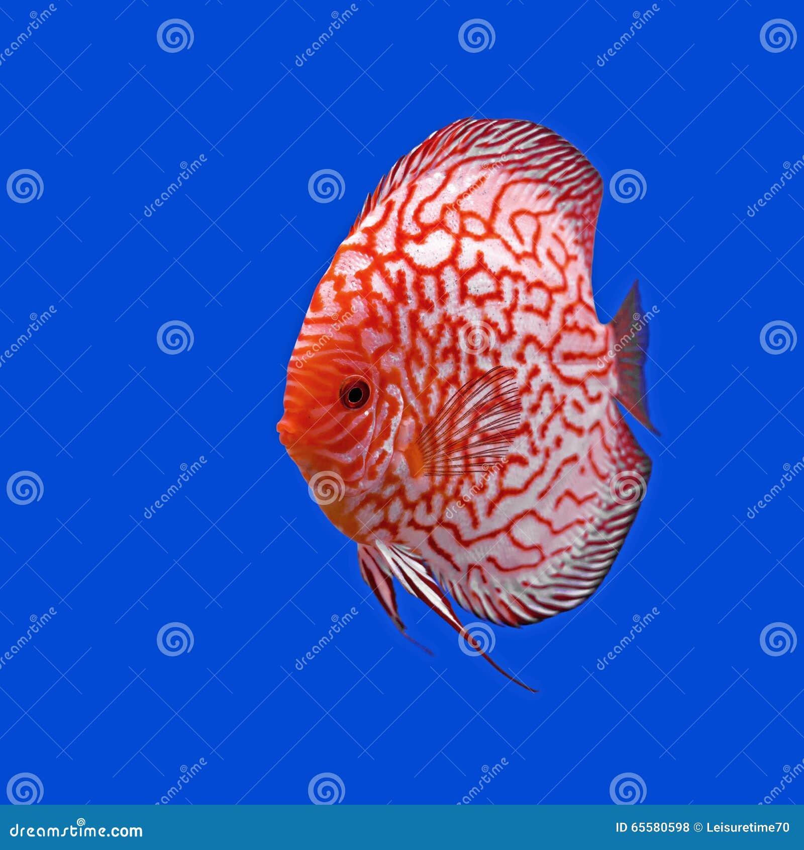 Peixes do Pompadour ou do symphysodon