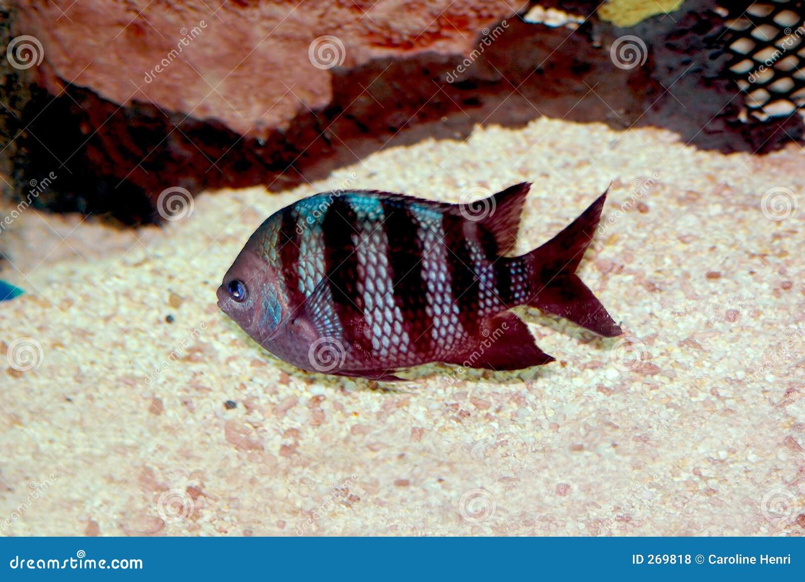 Peixes do quartermaster-sargento