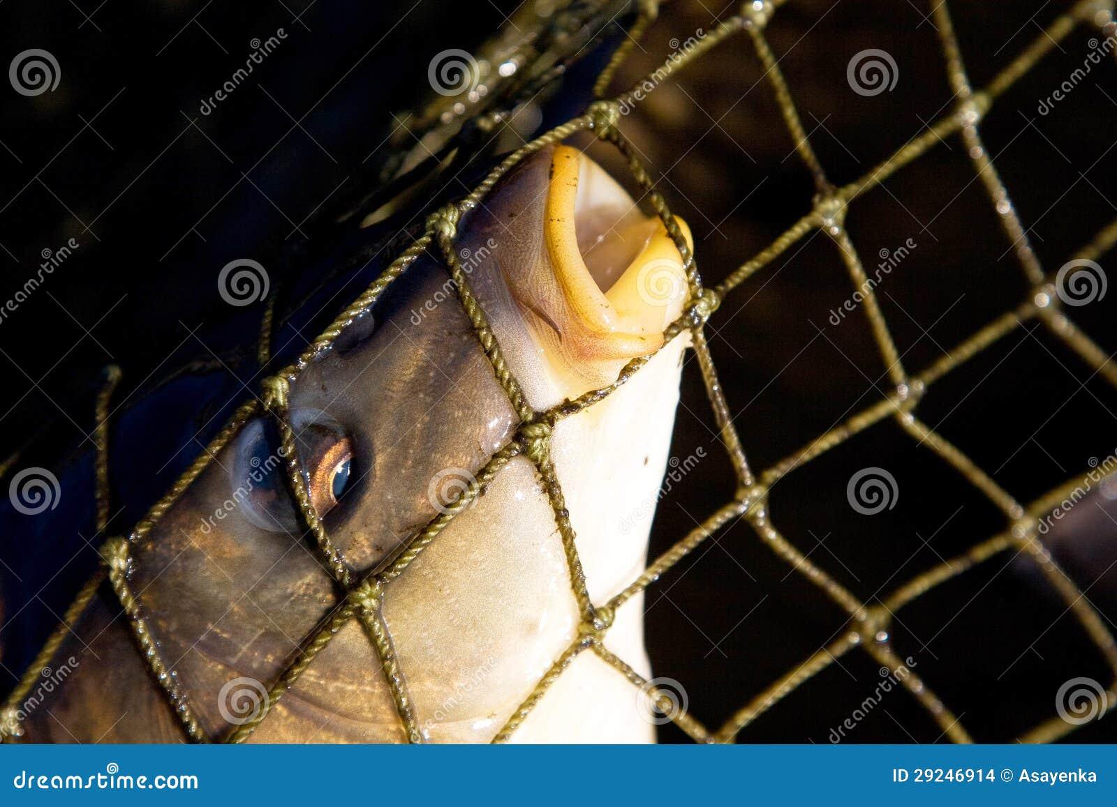 Download Peixes em redes de pesca foto de stock. Imagem de engranzamento - 29246914