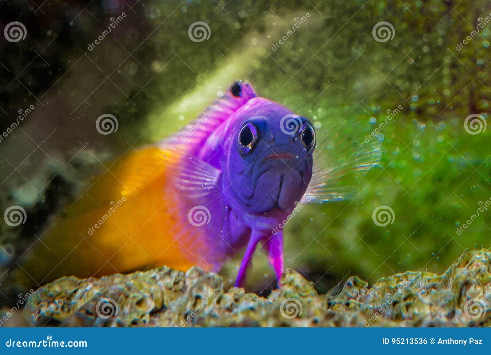Peixes Gramma real Basslet