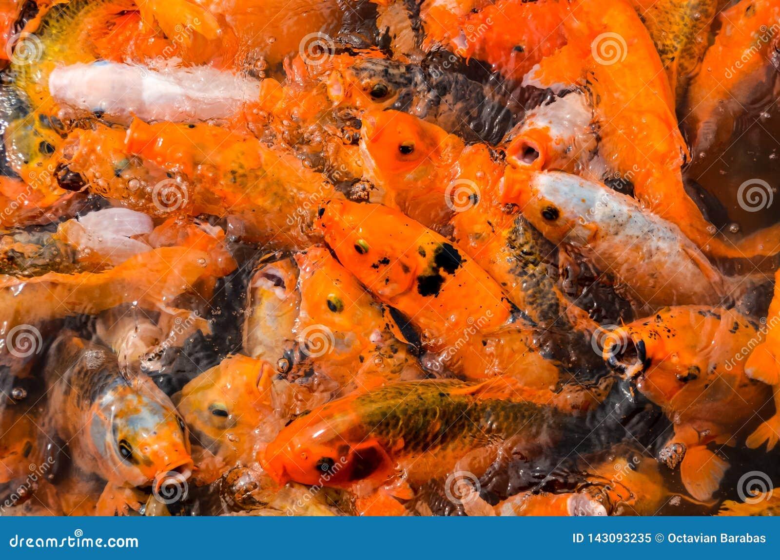 Peixes múltiplos do koi na lagoa de água