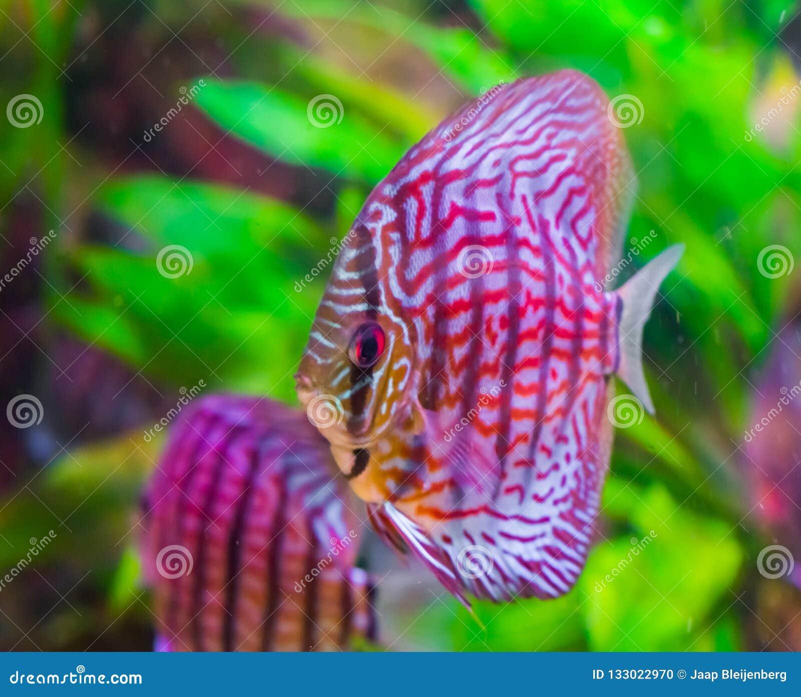 Peixes no close up com vermelho colorido, cores preto e branco do disco, um animal de estimação tropical do aquário da bacia das