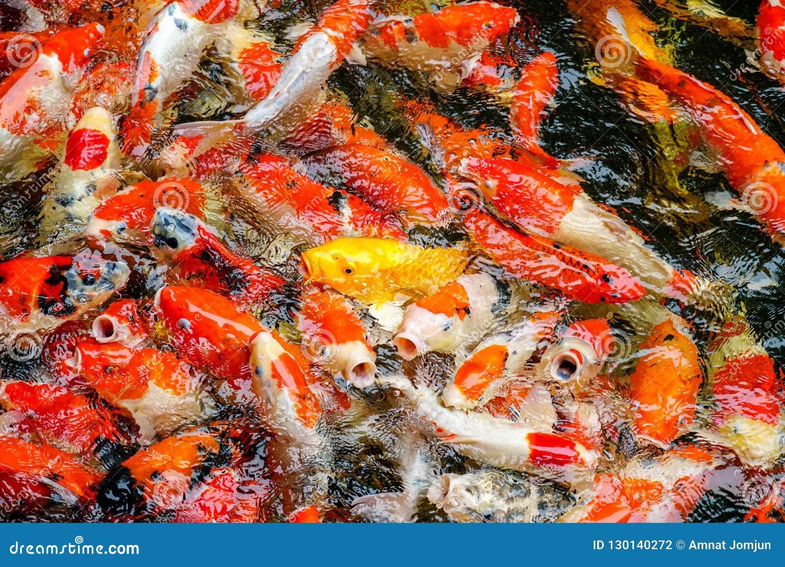 Peixes ou carpa colorida ou carpa extravagante, natação extravagante da carpa na lagoa no jardim zoológico