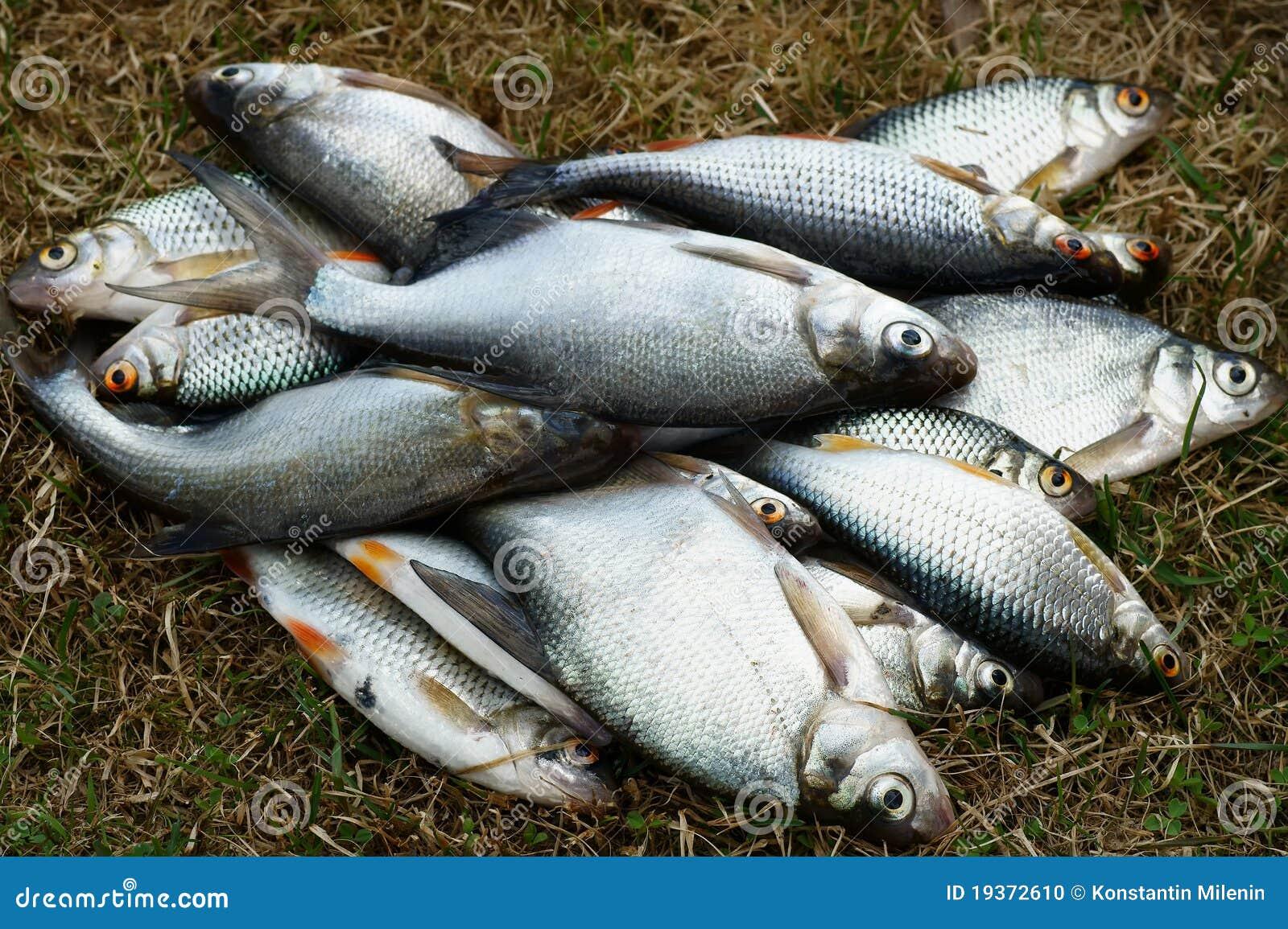 Peixes, pesca da mola