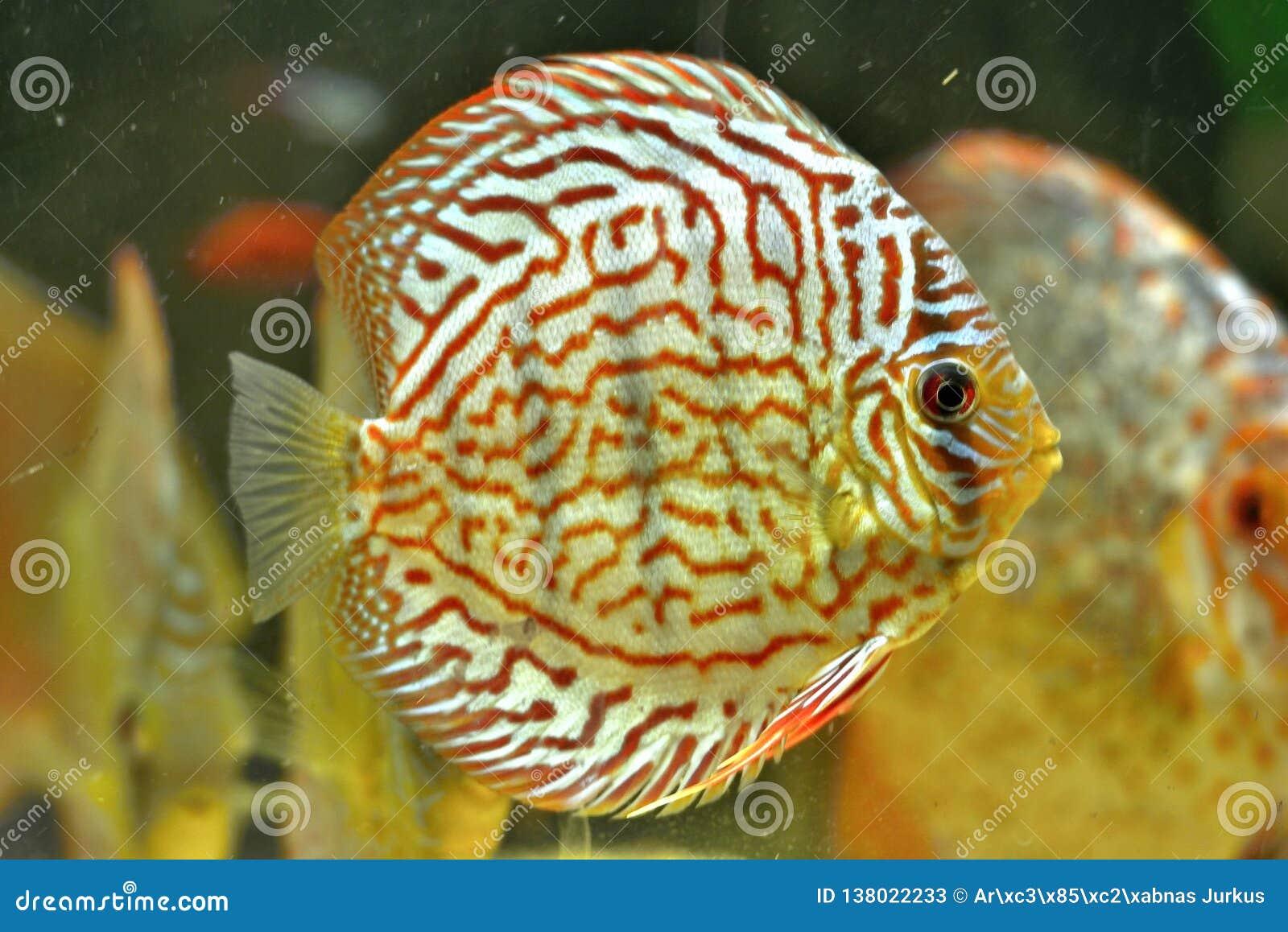 Peixes Symphysodon Aequifasciatus do disco no aquário