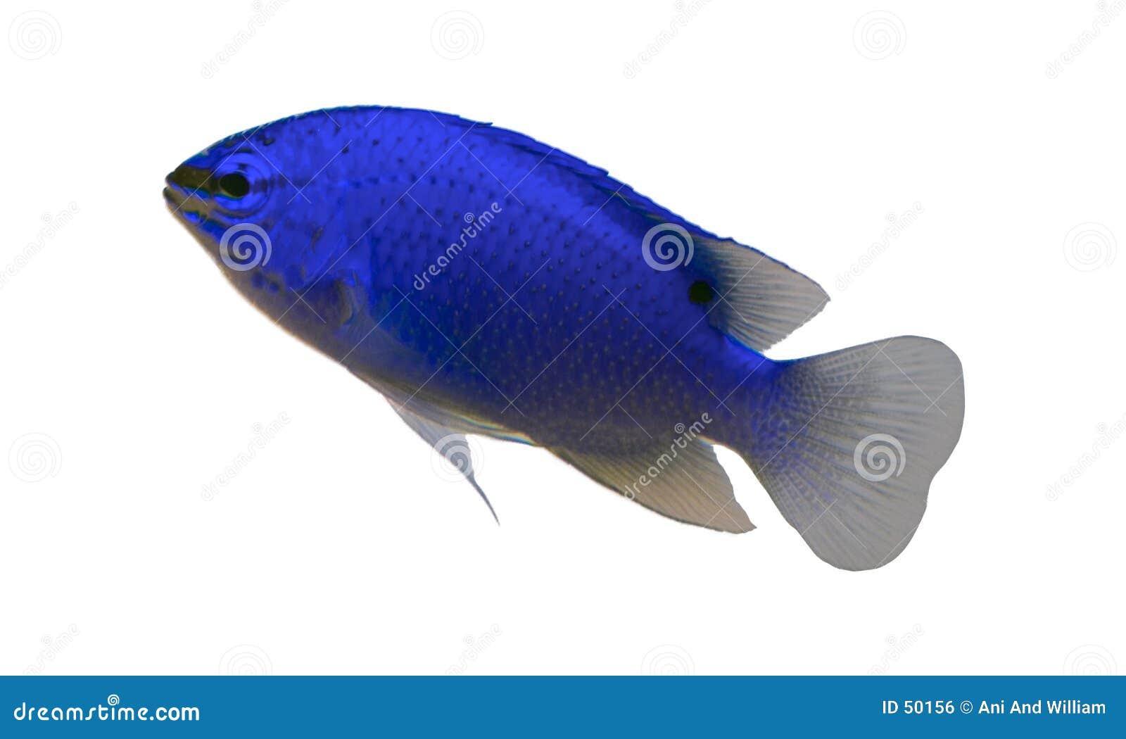 Peixes tropicais do aquário