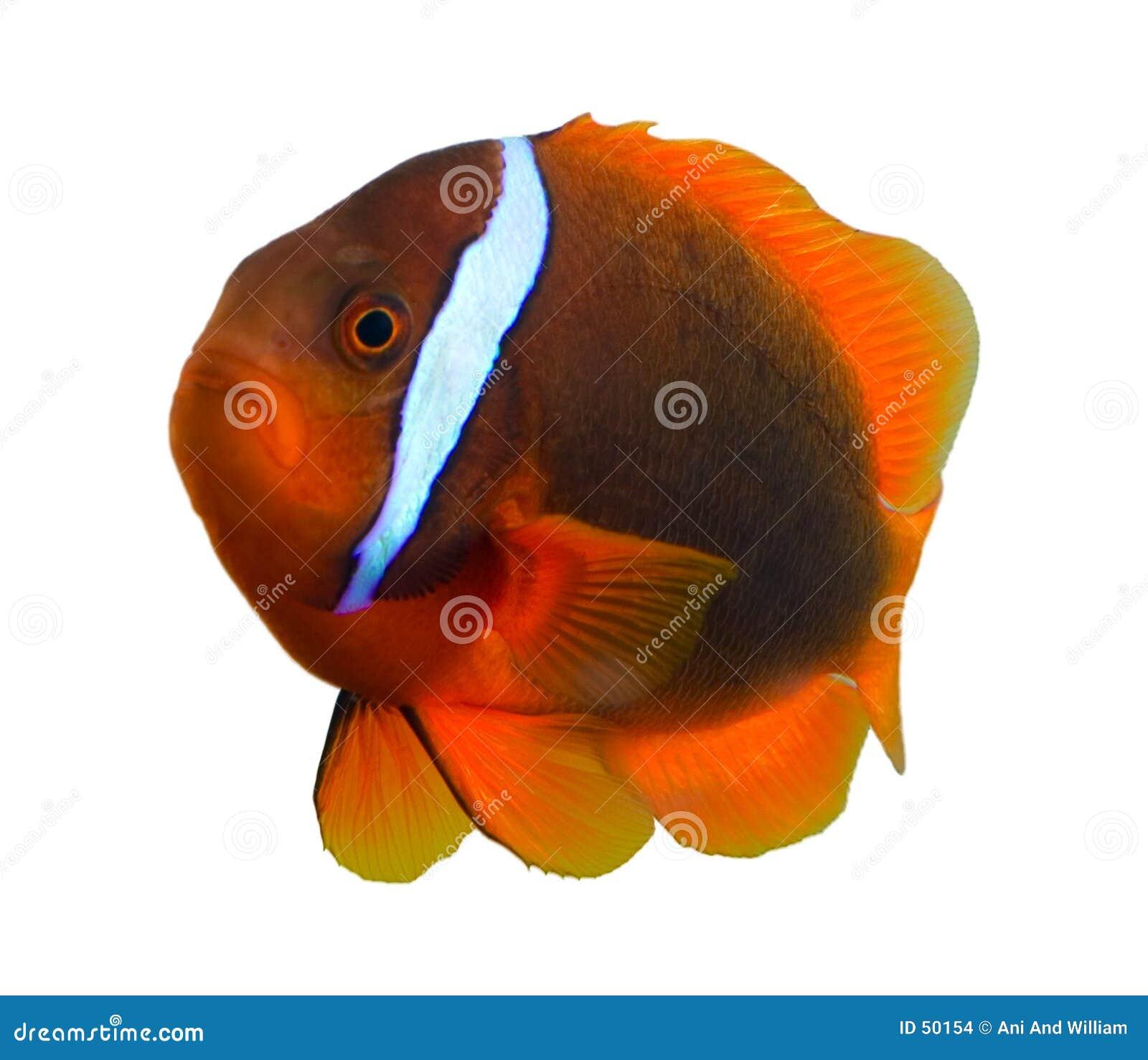 Peixes tropicais do palhaço