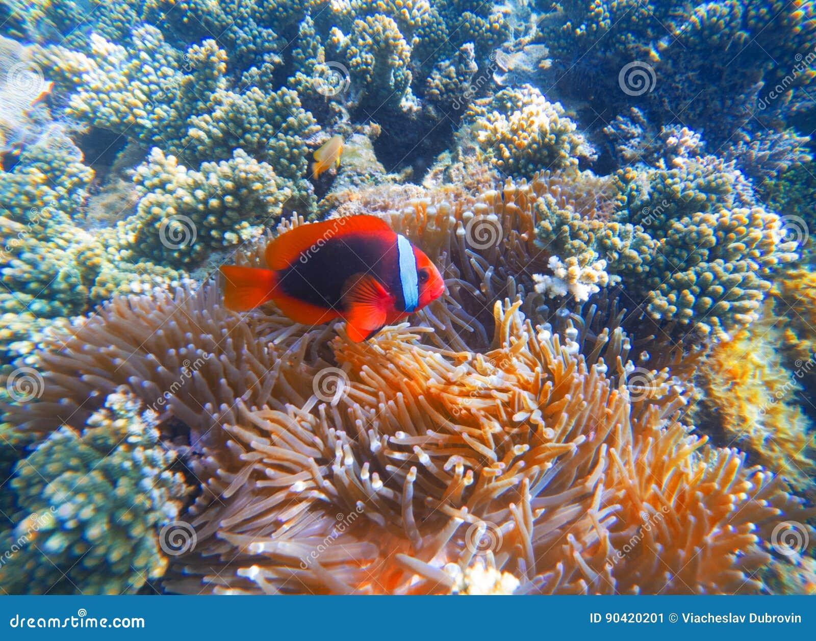 Peixes vermelhos do palhaço na foto do close up do actinia Clownfish no recife de corais