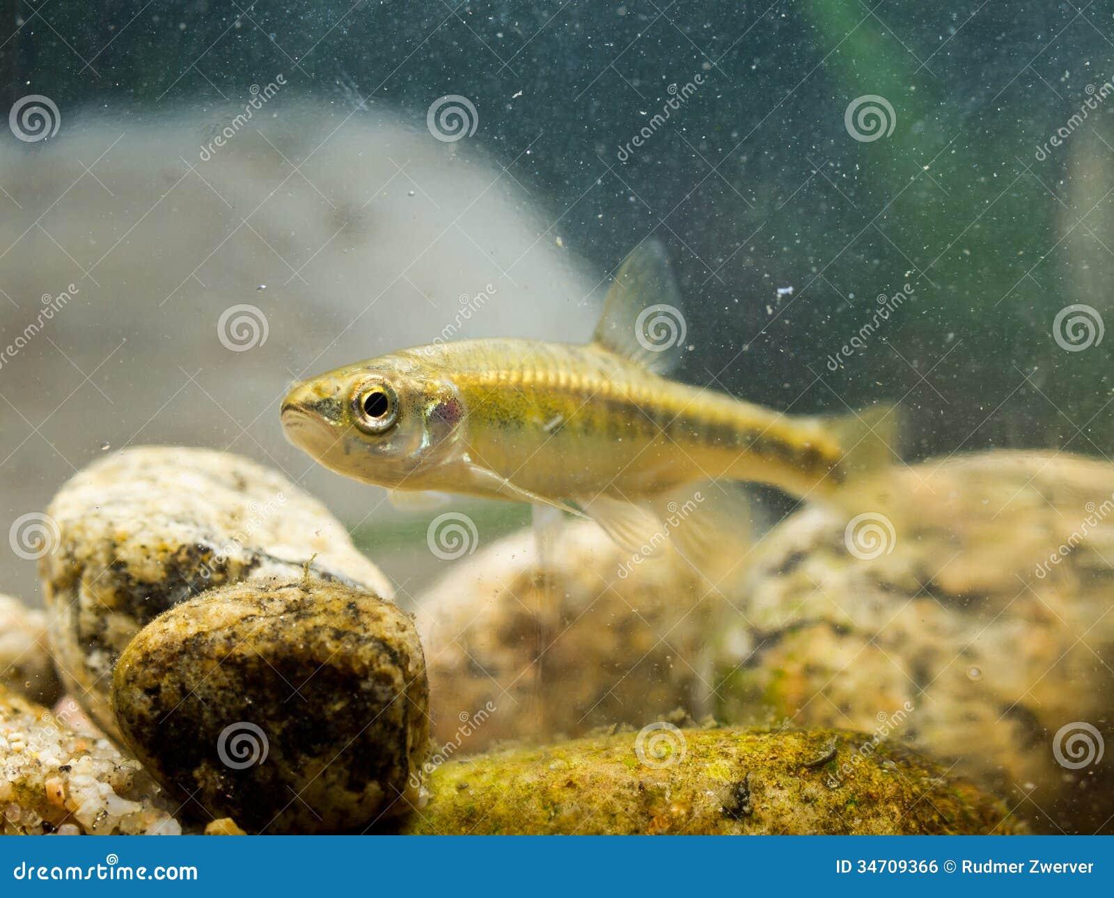 Peixinho de rio euro-asiático no habitat natural