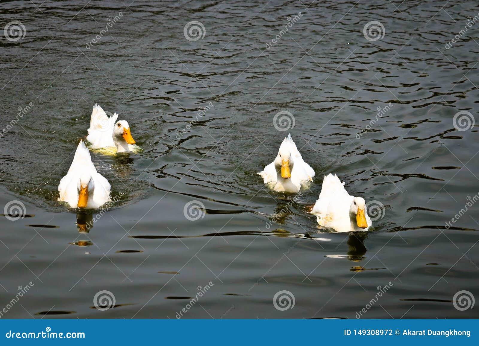 Pekin鸭子摇摆