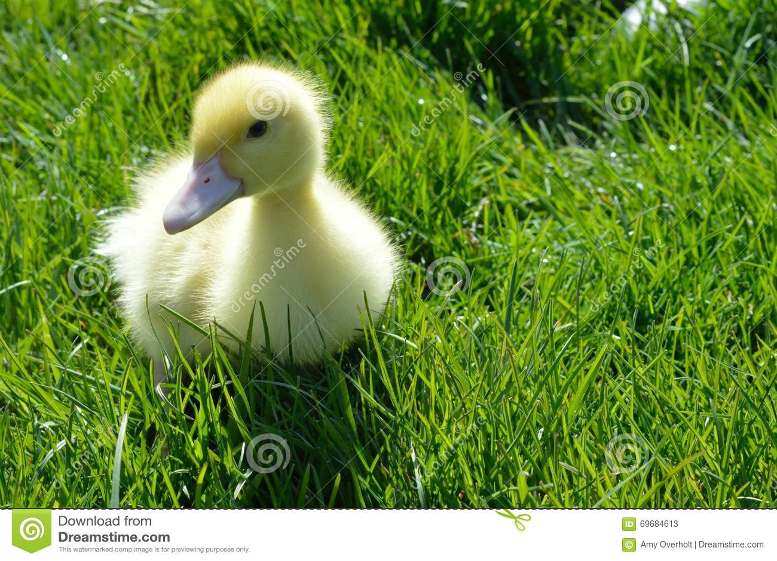 Pekin kaczątko w trawie