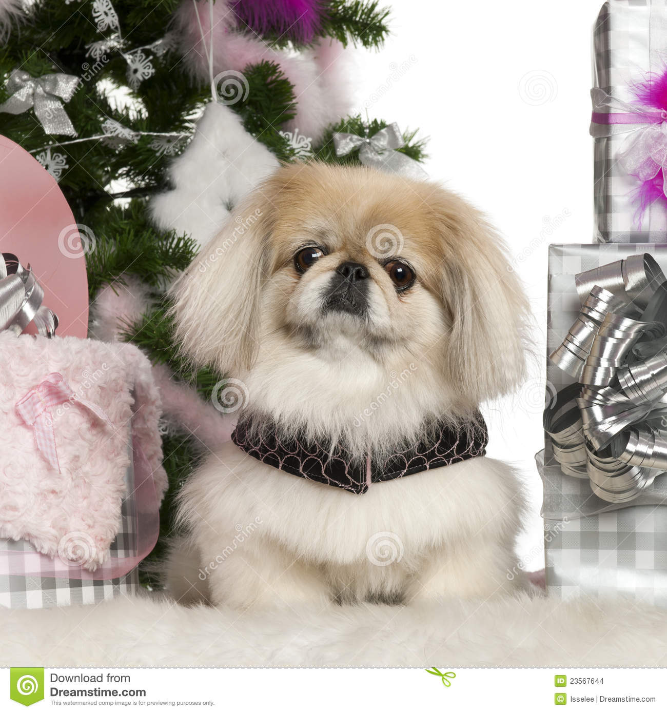 pekingese  6 years old  with christmas tree stock photo