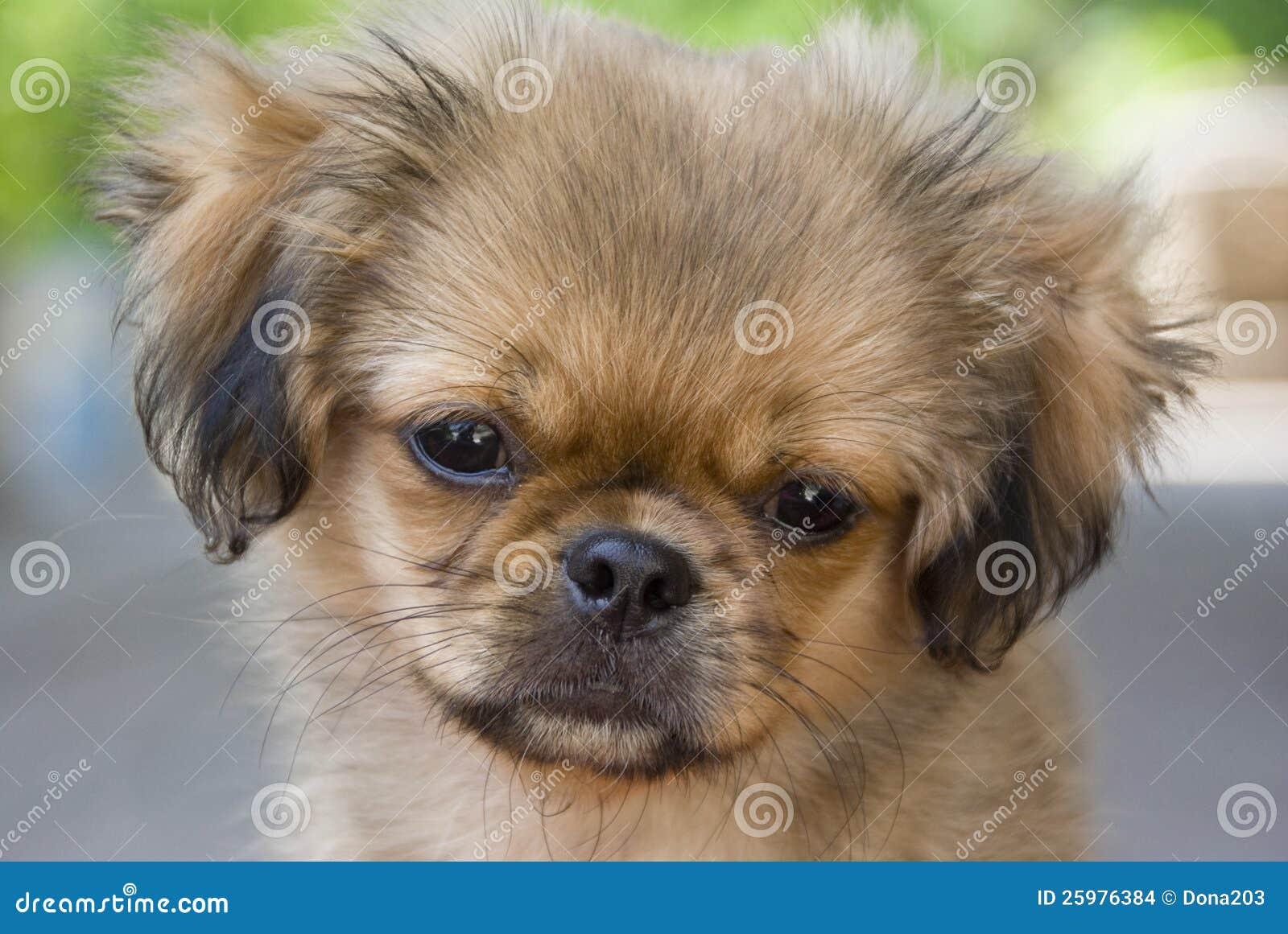 Pekingese Dog Stock Images Image 25976384