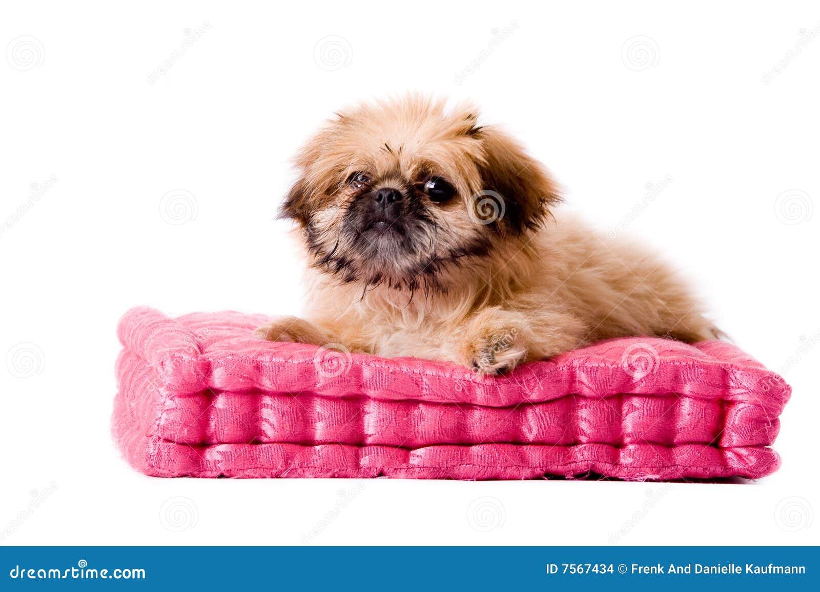 pekingese dog laying on my pillow stock images   image 7567434